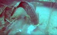 Un chasseur sous marin concurrencé par de gros mérous