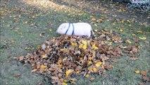 Un mini cochon fan de feuilles mortes! Vive l'automne...