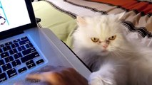 Cute Cats Demands Petting Compilation