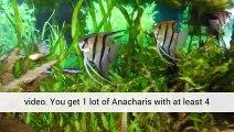 Aquatic Plants Live Aquatic Aquarium Aquatic Plant