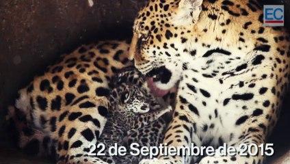 En el Zoológico de Guayllabamba nacieron dos jaguares