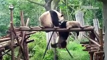 The mother panda and little pandas are playing together Cute Panda funny