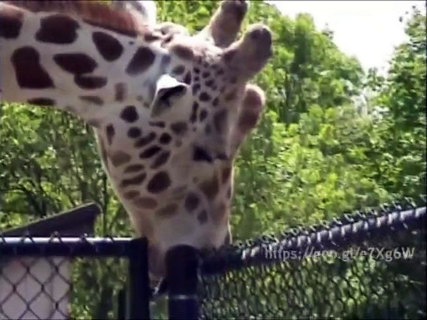 This funny Giraffe blows a Pole of her Palisade