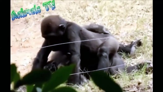 Gorilla mating Females Gorilla trying to mate like humans (Funny)