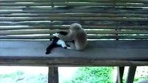 Duel inhabituel. Drôle singe et chaton drôle dans l'anneau