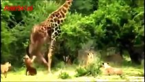 South Africa Lion vs Giraffe _ Wild Attack Animals_(360p)