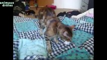 Chats drôles jouant leffort Compilation 2014 [NEW HD]