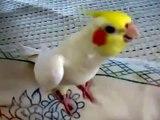 Assobios bonitos do papagaio. papagaio engraçado