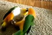 Perroquets de sport. perroquets drôles