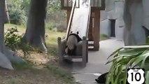 Pandas aime aussi avoir du plaisir. Tour de panda drôle sur les montagnes russes