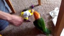 Les perroquets sont amusants à jouer. Perroquets drôles perruches