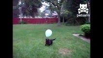 Пёс и воздушный шарик. Смешной пёс играет с воздушным шариком