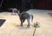 Lykoi Kittens Bounce Around in Excitement