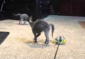 Lykoi Kittens Bounce Around in Excitement