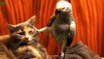 Perroquets ennuient chats. Les chats ne savent pas où aller à partir de perroquets
