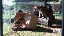Les lions, tigres et autre félins sont simplement des gros chats... Adorable!