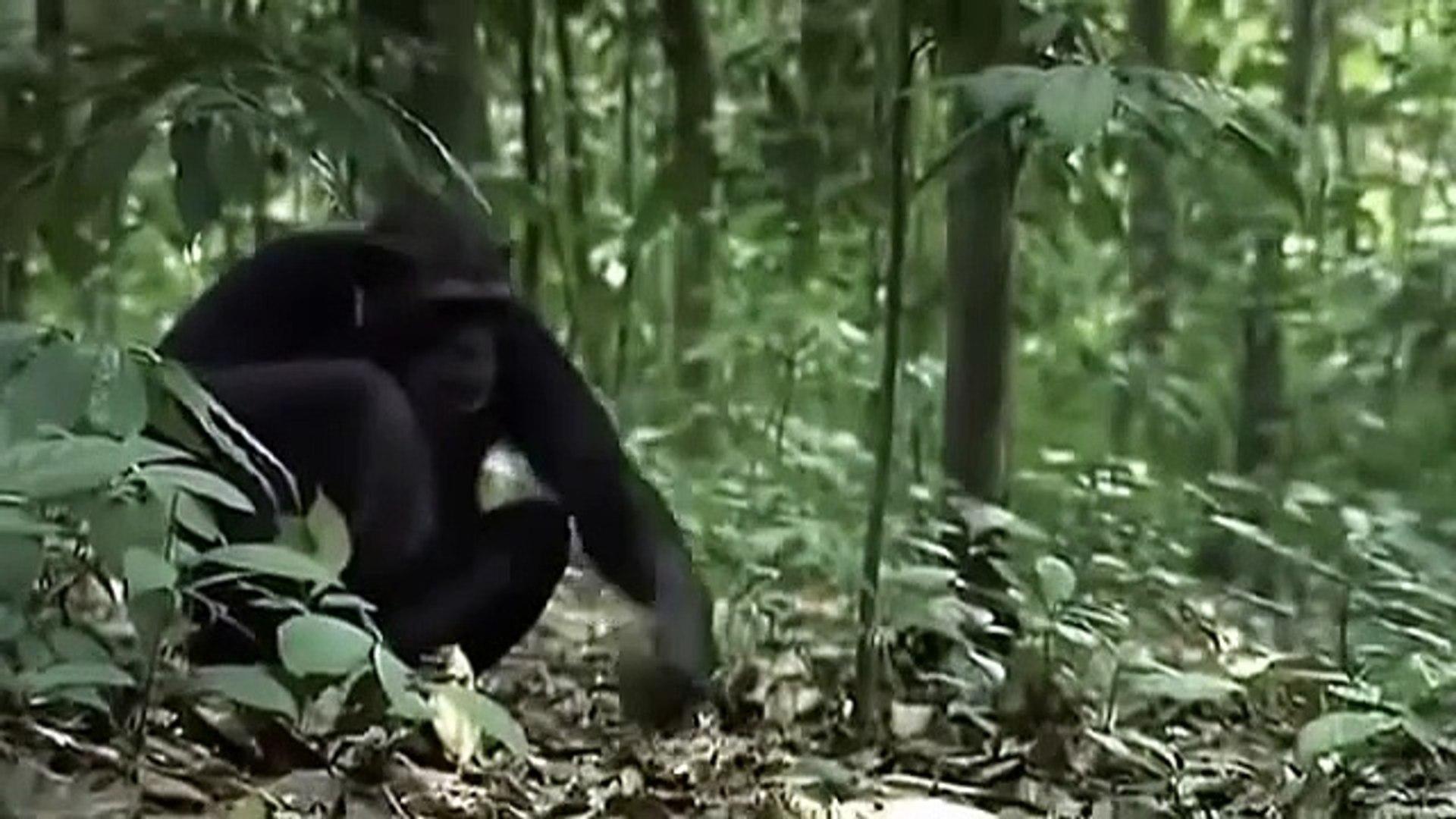 Animal Planet Documentary full s A Chimpanzees Tale Wildlife Documentary