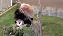 Why pandas are endangered... Know we know. Dumb animal!