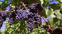 Climat : quels cépages pour quel vin de Bordeaux dans 50 ans ?
