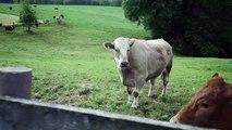 Une vache terrifiée versait des larmes jusqu'à ce qu'elle comprenne où elle s'en allait