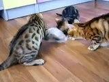Divertissement chatons Bengale. Chatons drôles joués