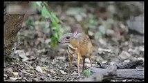Le plus petit cerf dans le monde. Drôle souris cerfs kanchil