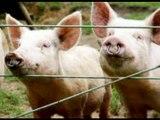 Avis à tout ces terroristes islamiques en France nous nous aimons et adorons le cochon prenez en de la graine!