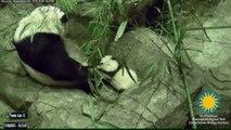Un bébé Panda fait ses premiers pas au Zoo...