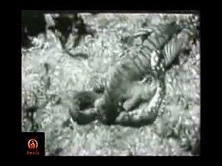Tiger vs Great Anaconda real video