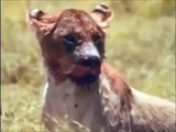Hyenas Attack - Wild African Animals Hunting & Mating [Nature Wildlife Documentary]