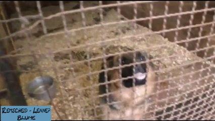 Schäferhunde vor Remscheider Züchter gerettet kein Wasser und zuwenig Tageslicht