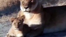 Clásicos National Geographic Leones - Documental de Leones Fieras Nocturnas
