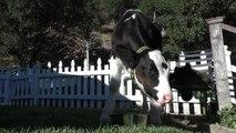 Goliath, le veau qui se prenait pour un chien