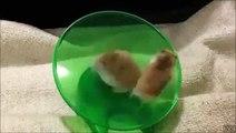 Ce hamster fou court super vite dans sa roue