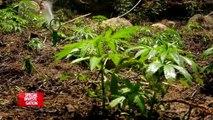 Au royaume du shit : dans une plantation de cannabis