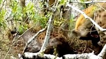 Documentales de Animales Salvajes - Documental Ataques de Animales Salvajes