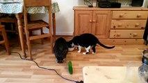 Cats vs Cucumbers : Les chats terrifiés par des concombres
