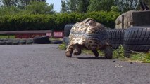La tortue la plus rapide du monde - record validé