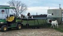 Des chèvres s'amusent sur un trampoline