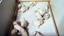chez Les bébés Bergers Blanc Suisses ont 22 jours mais ils ont la visite d'un intrus plus âgé qui n'est pas rassuré....