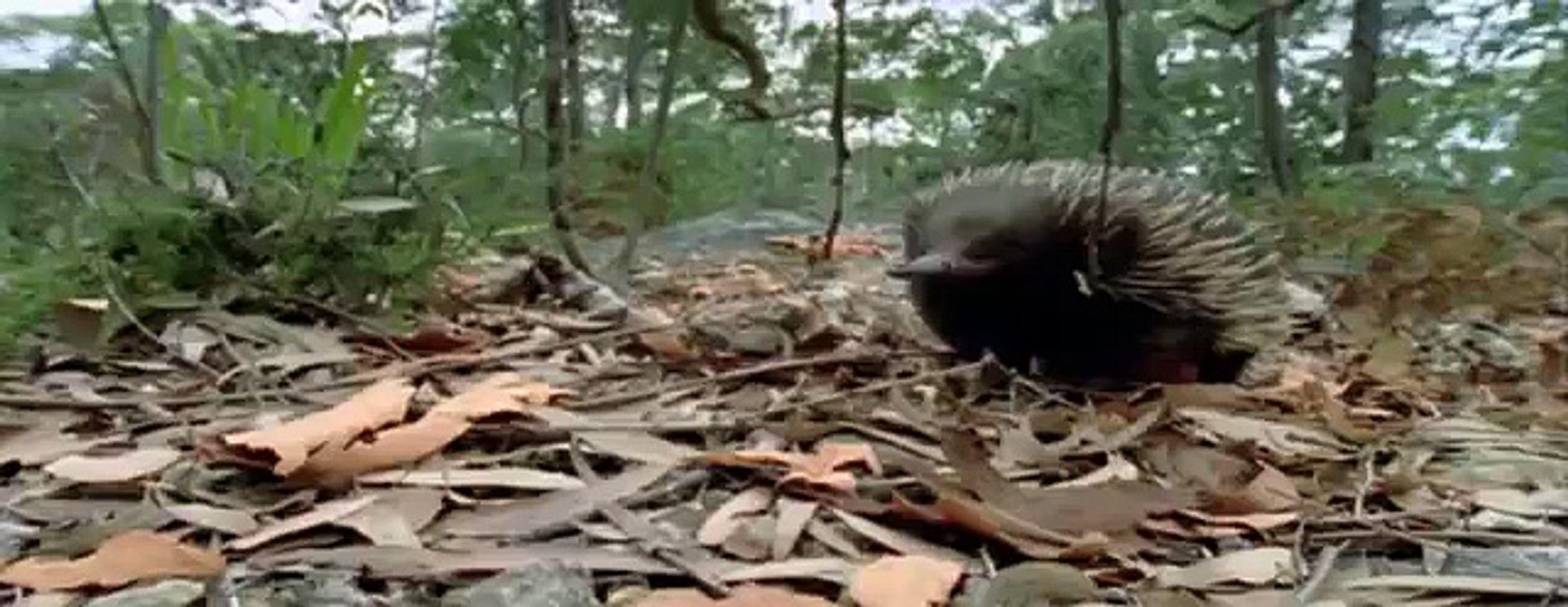 Echidna - My animal friends - Animals Documentary -Kids educational Videos