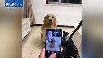 Buzz : Ce chien sourit sur commande pour prendre la pose ( Amazing dog smiles on command for picture taken by owner ) !