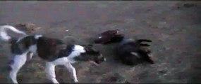 Jouant chien avec un renard. Drôle chien et le renard