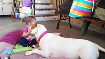 Funny And Cute Pitbull Dogs Love Babies Compilation 2015 Cute Dogs And Adorable Babies