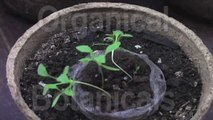 Grow Opium Poppies - Stage #1  -Germination, Sprouts, seedlings, seeds from http://OrganicalBotanicals.com/ @OrganicBotanics