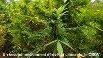 L'Australie va tester le cannabis médical sur les enfants épileptiques (STFR)