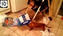 Divertissement chien. Drôle chien lui-même Greyhounds divertissement et de loisirs. Funny dog détendre