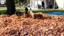 Chiens et feuilles. Chiens drôles jouant dans les feuilles d'automne