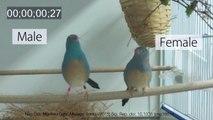 La parade nuptiale d'un oiseau en slow-motion