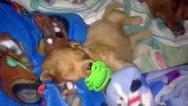 Chupetas. Filhotes de cachorro engraçados com chupetas e bicos